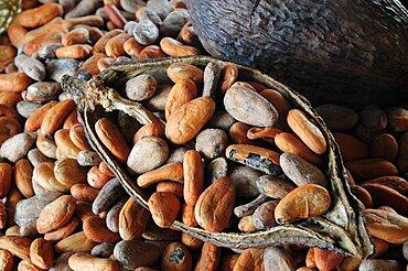 Mexico, Oaxaca, Cocoa beans and pod.