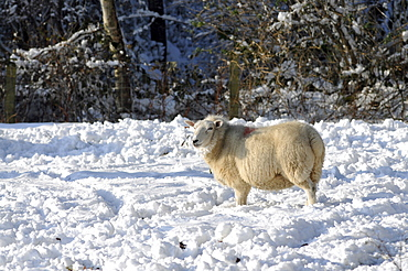 Agriculture, Farming, Animals, Pregnant sheep in snow.