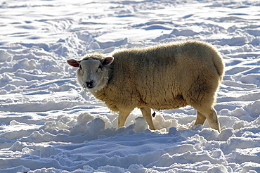 Agriculture, Farming, Animals, Sheep in snow.