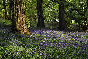 Ireland, County Roscommon, Boyle, Lough Key forest park field of bluebells.