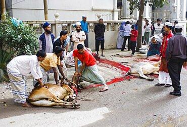 Bangladesh, Dhaka, Gulshan Animals slaughtered in the street for the Muslim Eid-ul-Azha festival.