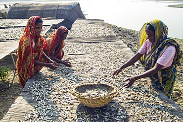 Bangladesh, Rajshahi, Women outside sorting tables of small fish which are drying in the sun. - 797-10888