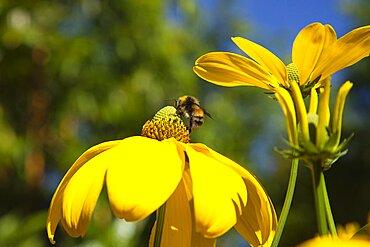 Plants, Flowers, Rudbeckia, Bee on Rudbeckia laciniata Herbstsonne green headed coneflower.