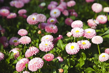 Plants, Flowers, Daisy, Mass of pink Bellis Perennis daisies growing wild.