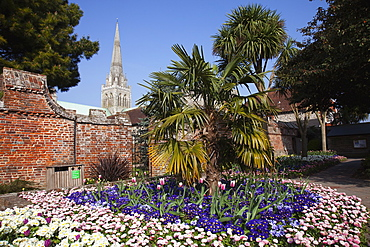 Plants, Flowers, Mixed, England West Sussex Chichester Garden with abundance of colourful Tulip and Primrose flowers and Cathedral Spire behind.