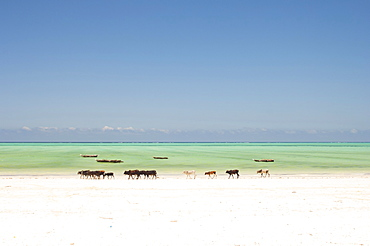 Tanzania, Zanzibar, Paje, Cows walking along the golden sands of the shoreline.