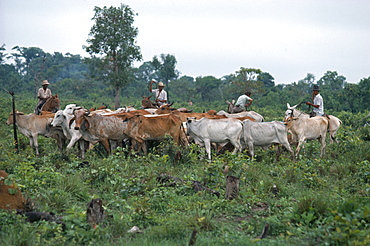 BRAZIL Matto Grosso Farming Gauchos with cattle on deforested land Brasil Brazil