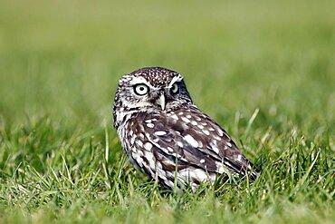Animals, Birds, Owls, Little owl Athene noctua Standing on ground in grass North Yorkshire England UK.