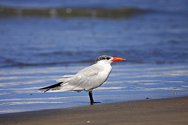 Animals, Birds, Terns, Caspian tern Sterna caspia In Eclipse Plumage Standing At Waters Edge In Wintering Grounds December The Gambia West Africa.