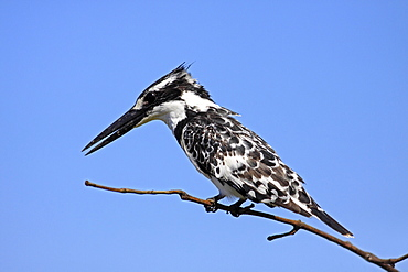 Animals, Birds, Kingfishers, Pied kingfisher Ceryle rudi Perched on branch The Gambia West Africa.