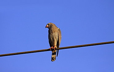 Animals, Birds, Bird of Prey, Lizard buzzard Kaupifalco monogrammicus Perched on steel cable against a deep blue sky The Gambia West Africa.