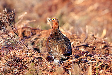 Animals, Birds, Grouse, Red grouse Lagopus lagopus Male standing in burnt heather with head turned viewed from behind North Yorkshire England UK.