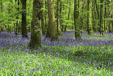 Ireland, County Roscommon, Derreen Wood, Bluebells in May.