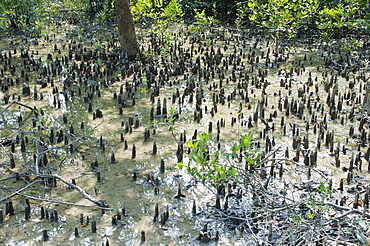 Bangladesh, Khulna Division, Shyamnagar, Shoots of halophytic mangrove poking out of the mud in the UNESCO World Heritage Site.