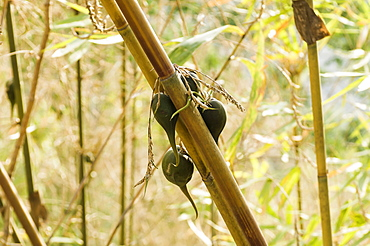 Bangladesh, Chittagong Division, Bandarban, Rare bamboo fruit hanging from stems, usually flowers every 50 years.