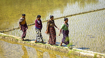 Bangladesh, Chittagong Division, Rangamati, Women walking across rice paddy fields.