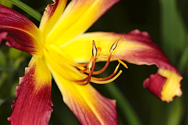 Plants, Flowers, Lillies, Lily, Close up of colourful Lilium flower showing stamen.