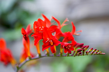 Montbretia, Crocosmia 'Lucifer', branched spike with emerging showy funnel-shaped red flowers isolated in shallow focus against a green and grey background.
