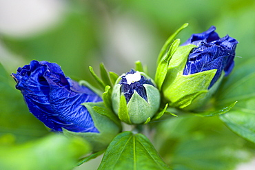 Rose mallow, Hibiscus syriacus 'Blue Bird', purple blue buds opening among green leaves on a shrub.