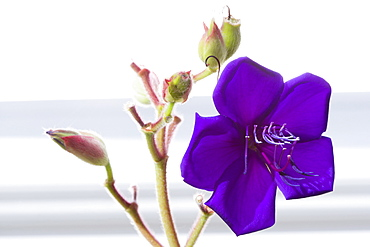 Glory bush, Tibouchina urvilleana, purple flower with prominent stamen and buds on an evergreen shrub.