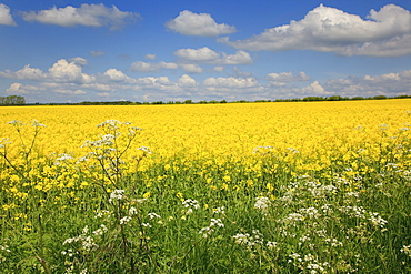 England, West Sussex, Arundel, field of bright yellow coloured Rape, Brassica napus, with cow parsley in the foreground.