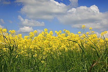 England, West Sussex, Arundel, field of bright yellow coloured Rape, Brassica napus.
