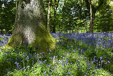 Bluebells, Hyacinthoides non-scripta, in woodland area near Crossbush, West Sussex, England.