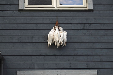 Norway, Svalbard, Longyearbyen, Traditional style, modern accomodation block, Ptarmigan hanging from the window, Due to cold temperature locals hang recently shot gamebirds outside as the cold air keps them fresh.