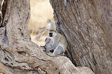 Tanzania, Tarangire Natinoal Park, Female Velvet monkey with baby perched between two tree trunks.