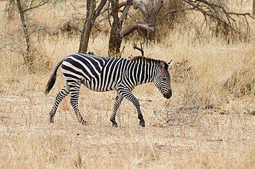 Tanzania, Tarangire National Park, Zebra in dry scrubland.