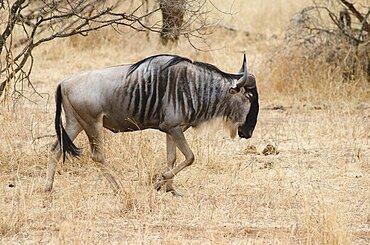 Tanzania, Tarangire National Park, Wildebeest in dry scrubland.