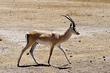 Tanzania, Ngorongor Crater, Grant's Gazelle in Conservation Area.
