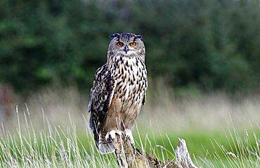 Animals, Birds, Owl, European Eagle Owl, Bubo bubo, Perched on log in moorland, Suth West, England, UK.