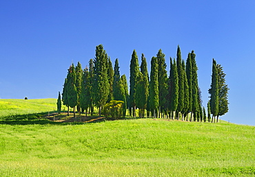 Italy, Tuscany, Val D'Orcia, Famous cypress grove near San Quirico D'Orcia.