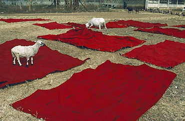GHANA  Kumasi Sheep with Ashanti funeral cloth laid out to dry after dyeing red  the traditional colour of mourning. Asante   Akan people Color Colour