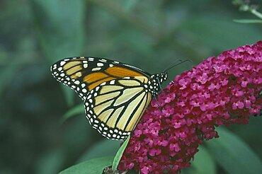 NATURAL HISTORY  Butterflies Monarch Butterfly on a purple flower