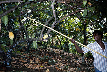 GHANA  Farming Cocoa farmer harvesting pods.