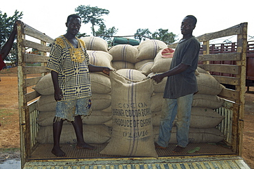 GHANA West Farming Loading sacks of cocoa beans onto truck to be taken to depot.  Lorry