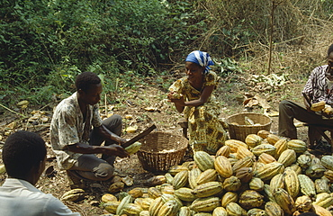 GHANA Farming Man and women removing the husks of cocoa pods.