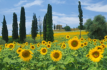 ITALY  Tuscany Field of sunflowers and cypress trees with distant building near Buonconvento