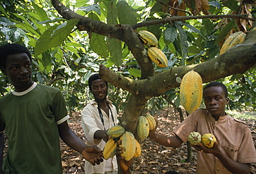 GHANA  Enchi Cocoa plantation workers. West Africa