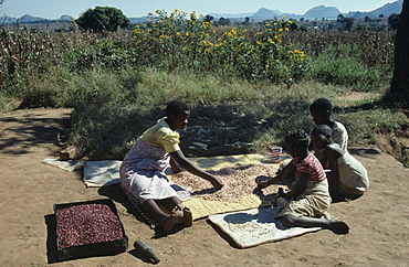 MALAWI Dedza District Refugees Woman and children sorting drying beans in Mozambican refugee camp.