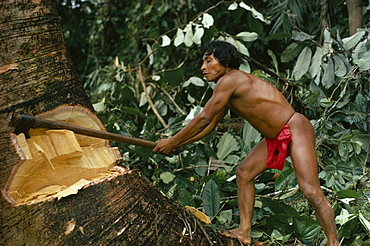 COLOMBIA Choco Embera Indigenous People Hueso  Embera family head using axe to fell large tree to make family dug-out canoe. Pacific coastal region tribe