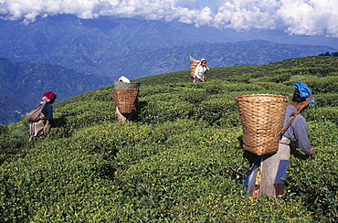 Female tea pickers at work on hillside plantation putting leaves into baskets carried on their backs, Darjeeling, West Bengal, India