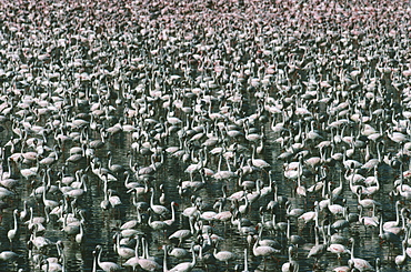 WILDLIFE Birds Flamingoes Greater and Lesser Flamingo  phoenicopterus ruber and minor  massed in Lake Bogoria Kenya