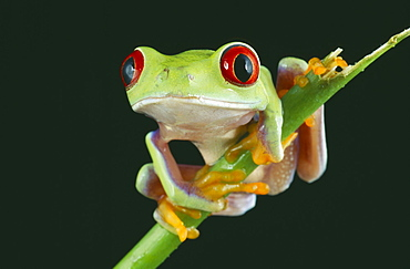 NATURAL HISTORY Amphibian Frog Red eyed tree frog perched on twig