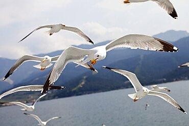 Birds, Gulls, in flight, flock of Seagulls on the Greek island Thasos.
