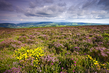 Heather in bloom on Dunkery Hill, Exmoor National Park, Somerset, England, United Kingdom, Europe