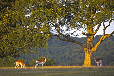 Fallow deer grazing in the New Forest National Park, Hampshire, England, United Kingdom, Europe