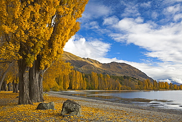 Autumn colours turn the lakeside golden at Wanaka, Otago, South Island, New Zealand, Pacific